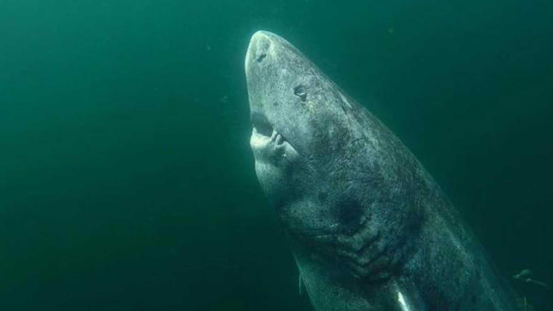 Dicen los expertos que este tiburón cuenta con más de 500 años de vida