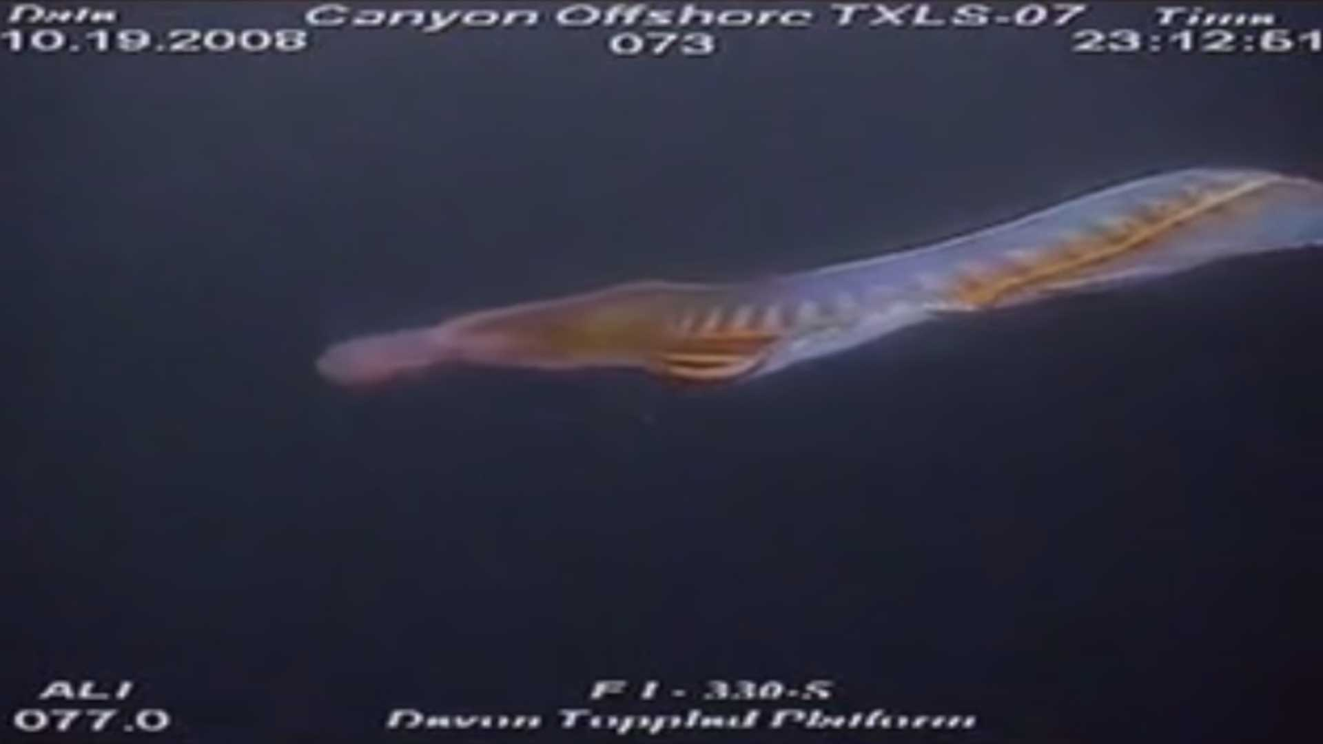 Extraña criatura es grabada en el fondo del Golfo de México