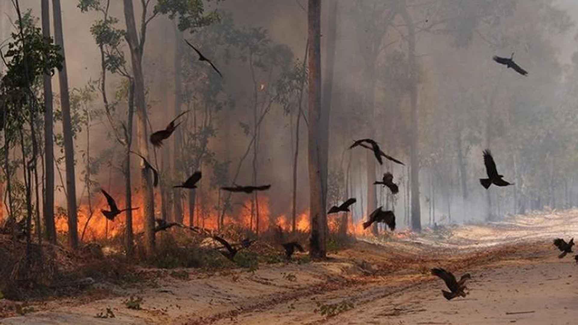 IMPACTANTE – Estas aves de presa pirómanas incendian deliberadamente los bosques de Autralia