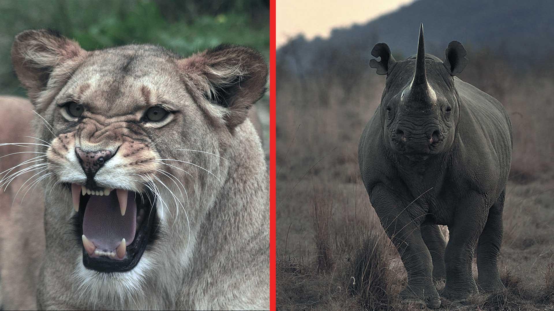 Leones eliminan cazadores furtivos que iban a cazar unos rinocerontes