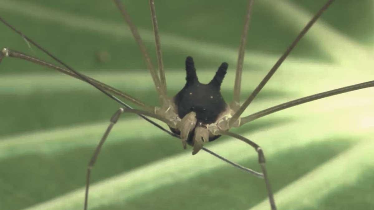 Conoce a la inquietante araña con cabeza de perro