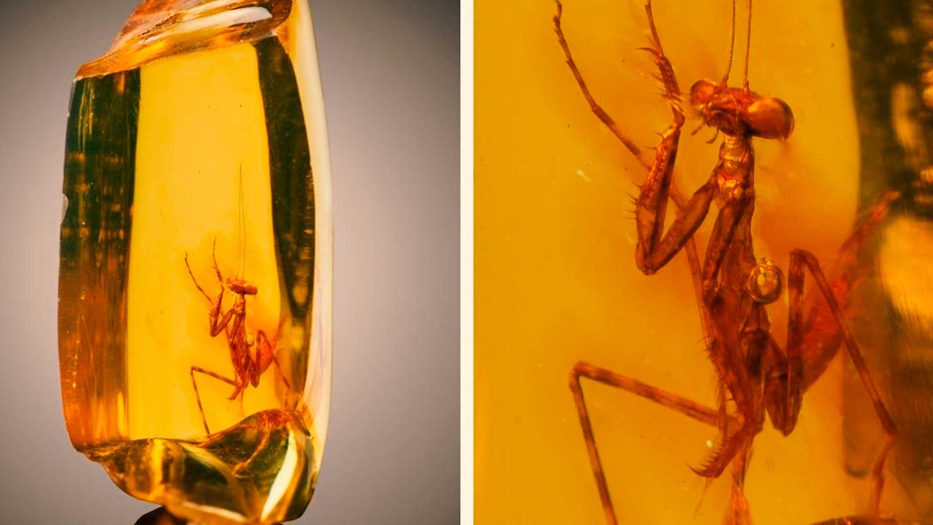 Mantis de 30 millones de años perfectamente conservada en ámbar