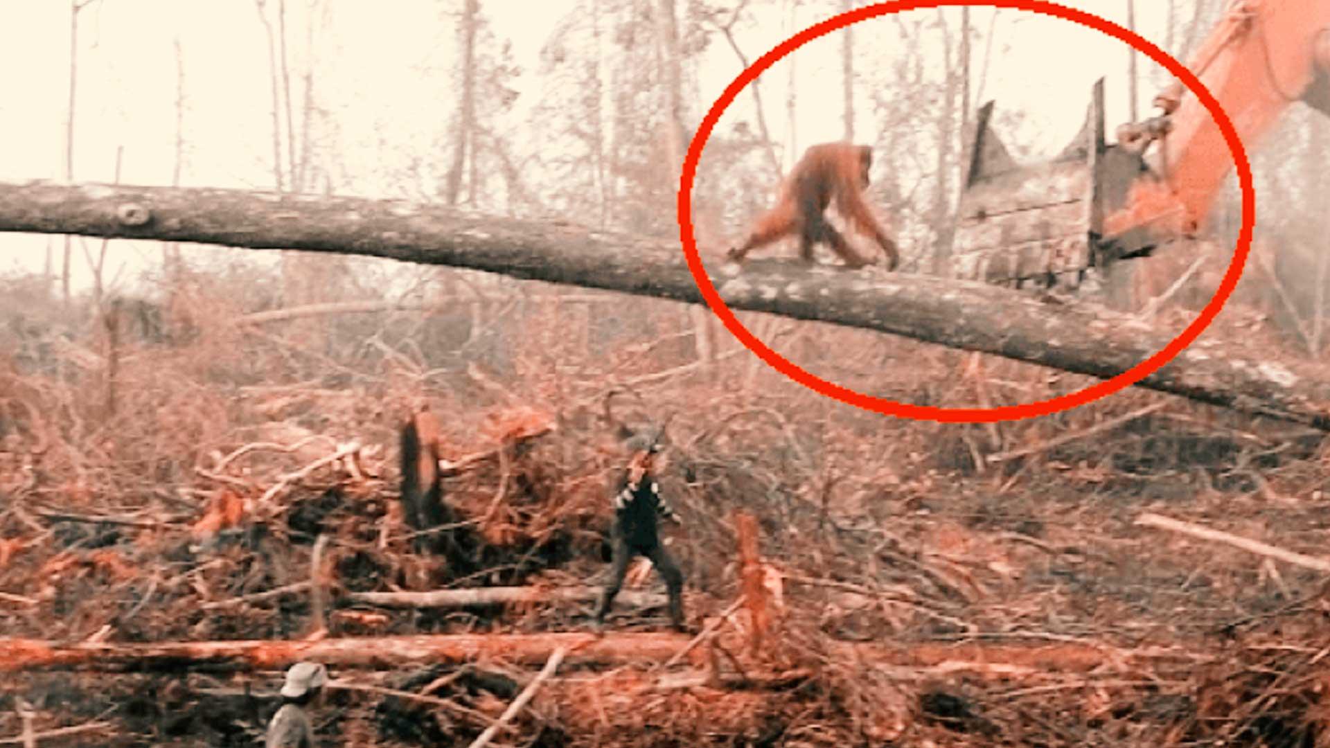 Orangután se enfrenta a excavadora que destruye su hábitat en Indonesia