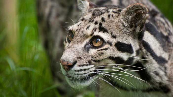 Leopardo nublado reaparece después de considerarse extinto desde 1983