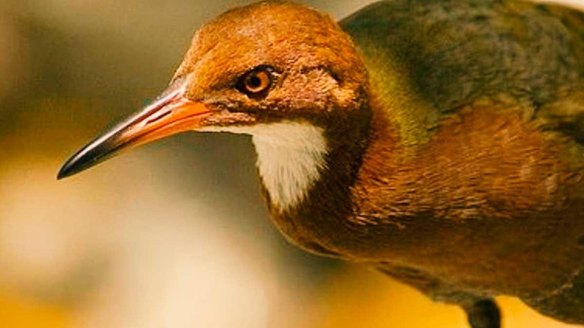 Esta ave llevaba extinta miles de años y ha vuelto a la vida