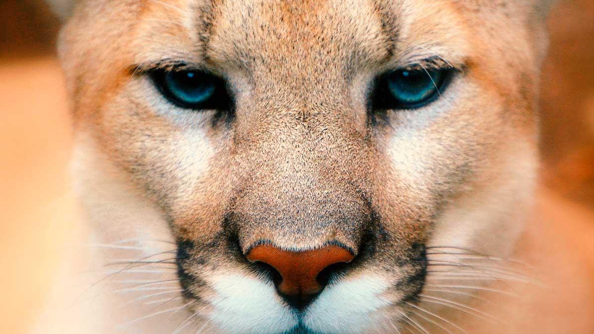 Puma del Este oficialmente declarado extinto por el USFWS