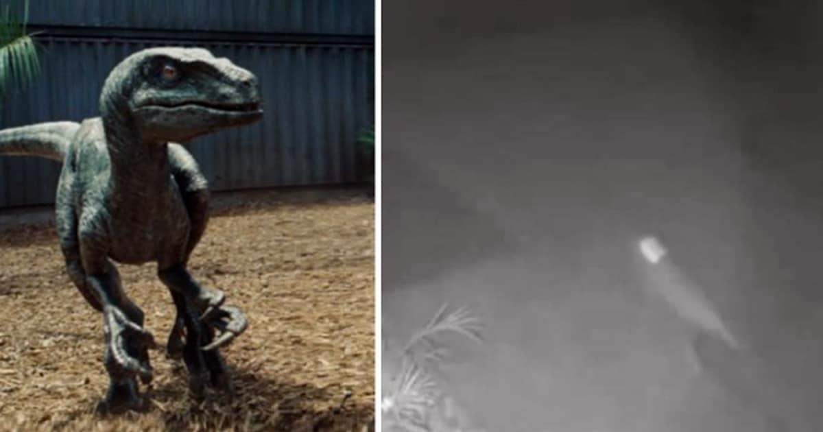 Dinosaurio del patio trasero: una criatura extraña que parece un velociraptor capturado por cámaras de vigilancia